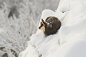 Alpine chamois (Rupicapra rupicapra) young warming in the sun, lying on a steep slope in the snow after a night of blizzard, with frosted coat, Grand Hohneck, Vosges, France