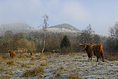 Highland cows in winter, Dambach, Northern Vosges Regional Nature Park, France