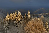 Snowy forests of Northern Vosges, Wintersberg, Regional Natural Park of Northern Vosges, France
