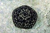 Cushion Star or Spiny cushion star (Culcita schmideliana), Indian Ocean, Maldives