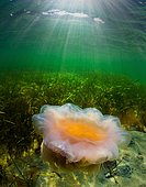 Lion's mane jellyfish (Cyanea capillata), Baltic Sea, Germany