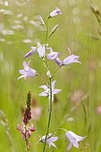 Spreading Bellflower(Campanula patula) flowers, Bickenberg, Alsace, France