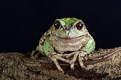 The Andean marsupial tree frog (Gastrotheca riobambae) has a unique breeding behavior in having a pouch to carry eggs and tadpoles in.
