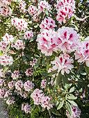 Rhododendron 'Mrs. G.W. Leak' in bloom in a garden