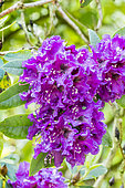 Rhododendron 'Purple Splendor' in bloom in a garden