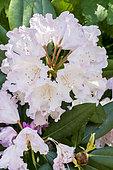 Rhododendron 'Caroline Albrook' in bloom in a garden