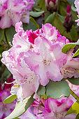 Rhododendron 'Lem's Monarch' in bloom in a garden