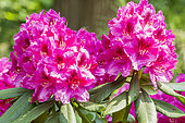Rhododendron 'Nova Zembla' in bloom in a garden