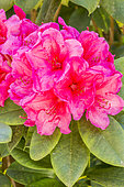Rhododendron 'Anna Rose Withney' in bloom in a garden