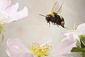 White-tailed bumblebee (Bombus lucorum), in flight
