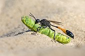 Common Sand Wasp (Ammophila sabulosa) with prey at nesting tube, caterpillar of the owlet moth (Noctuidae), Middle Elbe Biosphere Reserve, Saxony-Anhalt, Germany