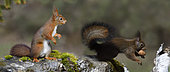 Red squirrels (Sciurus vulgaris) with walnuts, Regional Natural Park of Northern Vosges, France