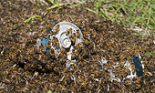 Honeybees (Apis mellifera) Swarm in beer cans thrown into the wild, Northern Vosges Regional Nature Park, France