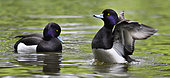 Tufted Duck (Aythya fuligula) males on water, Pays de Loire, France