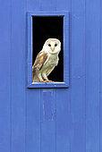 Barn owl (Tyto alba) perched inside a window