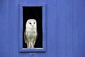 Barn owl (Tyto alba) perched in a window