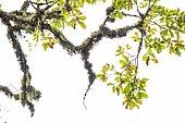 Oak branch covered with lichen, Trasmonte, Asturias, Spain