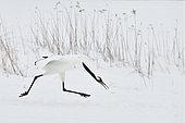 Japanese Crane (Grus japonensis) displaying, Hokkaido, Japan