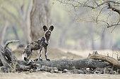 African wild dog (Lycaon pictus) at rest, Mana Pools, Zimbabwe