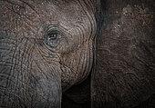 Eye of African Elephant (Loxodonta africana), Bwabwata, Caprivi, Namibie