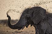 African Elephant (Loxodonta africana) splashing mud, Nxai Pan, Botswana
