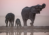 African Elephant (Loxodonta africana) and young drinking at the water point, Nxai Pan, Botswana