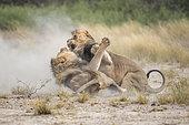 Lion (Panthera leo) Kalahari males fighting for a female, Kgalagadi, Botswana