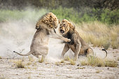 Lion (Panthera leo) Kalahari males fighting for a female, Kgalagadi, Botswana. 1st place, Montier en Der festival 2018.