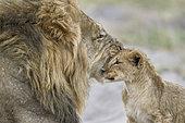 Lion (Panthera leo) male and cub, Khwai, Botswana