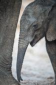 African elephant (Loxodonta africana), young elephant under his mother, Elephant sands, Botswana