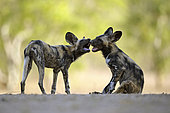 African wild dog (Lycaon pictus) young playing while the rest of the group is taking a nap, Mana Pools, Zimbabwe
