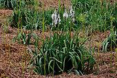 Asphodel (Asphodelus arrondeaui) in bloom, Ploemeur, Morbihan, Bretagne, France