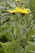 Elecampane (Inula helenium), Asteraceae, aromatic and medicinal plant, Medieval Garden, Orschwiller, Alsace, France