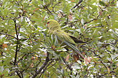 Slender-billed parakeet (Enicognathus leptorhynchus) Psittacidae endemic to Southern Chile and Argentina, Chiloe National Park, Cucao, Chiloe Island, X Lake District, Chile
