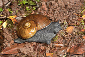 Caracol negro or Caracol gigante(Macrocyclis peruvianus), gastropod Acavidae endemic to southern Latin America, Parque Tantauco, Chiloe Island, X Region of the Lakes, Chile