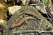 Common wall lizard (Podarcis muralis), male and female, breeding period, Bollenberg, Orschwihr, Haut-Rhin, France