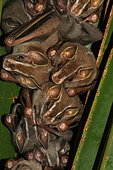 Tent-making bat (Uroderma bilobatum) group on leaf, Costa Rica