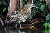 Bare-throated Tiger-Heron (Tigrisoma mexicanum) in water, Costa Rica