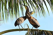 Bare-throated Tiger-Heron (Tigrisoma mexicanum) displaying, Costa Rica