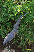 Bare-throated Tiger-Heron (Tigrisoma mexicanum) on ground, Costa Rica
