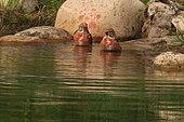 Eurasian linnet (Carduelis cannabina) bathing, France