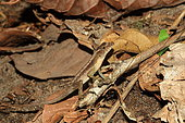 Stream Anole (Norops oxylophus) on ground, Costa Rica