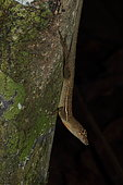 Stream Anole (Norops oxylophus) on a trunk, Costa Rica