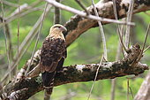 Yellow-headed Caracara (Milvago chimachima) on a branch, Costa Rica
