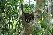 White-nosed Coati (Nasua narica) on a trunk, Costa Rica