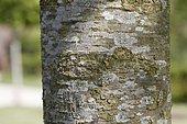 Japanese Zelkova bark (Zelkova serrata) in the Hanging Garden Park of Le Havre, Normandy, France