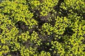 Cypress spurge (Euphorbia cyparissias) 'Fen's Ruby', inflorescences