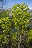 Euphorbia (Euphorbia characias) 'purple and gold'