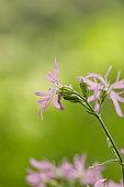 Ragged robin (Silene flos-cuculi) flowers, Soultzeren, Alsace, France