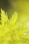 Sphagnum (Sphagnum sp) in close-up, Forlet peat bog, Soultzeren, Alsace, France
